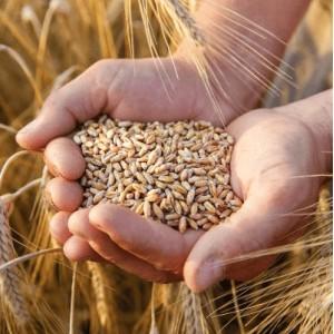 Для предпосевной обработки семян